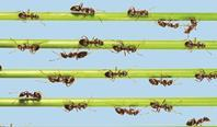 Ants walking in lines along blades of grass